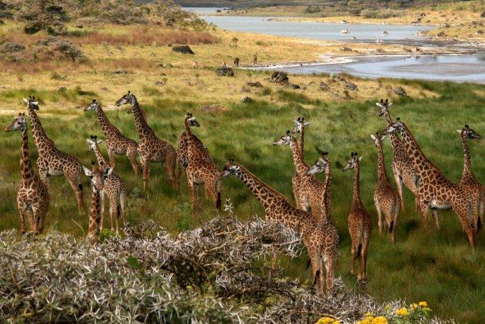 Giraffes_Arusha_Tanzania.jpg